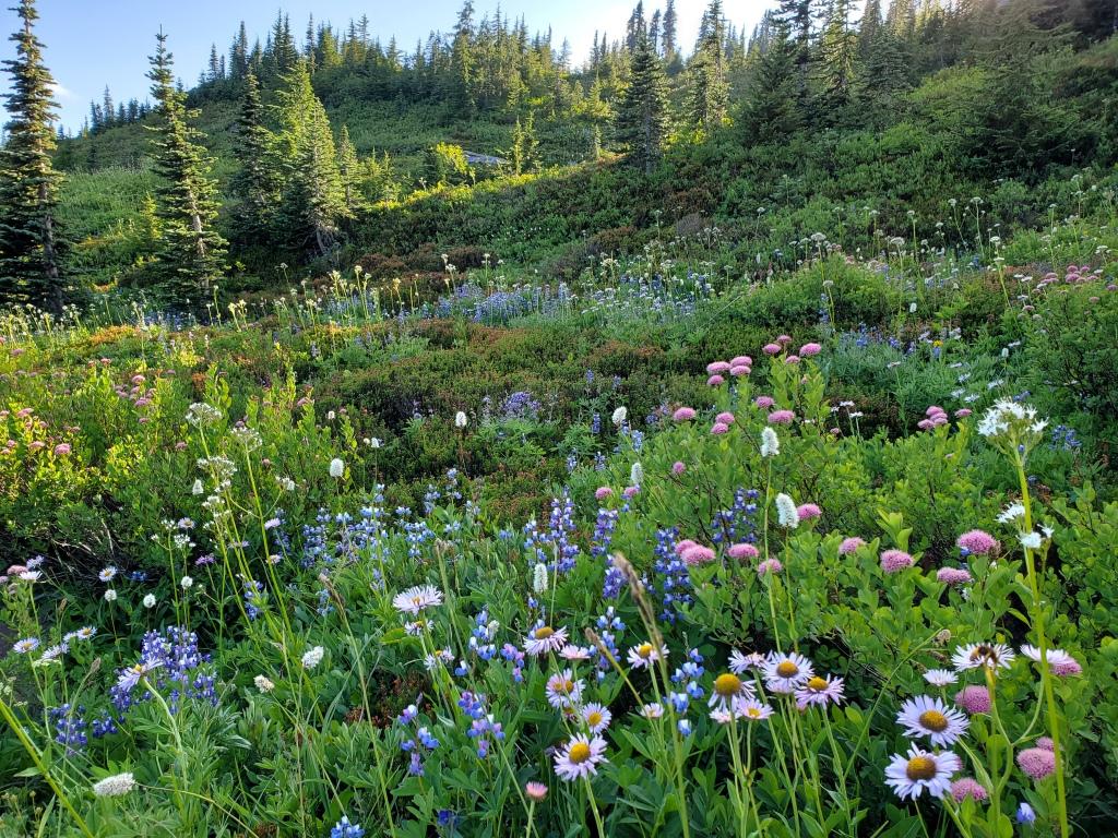 Skyline Trail - wildflowers