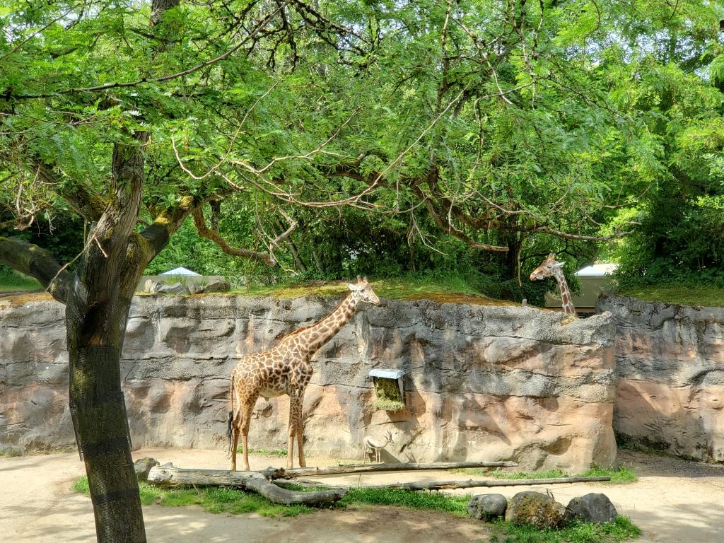 two giraffes standing under trees