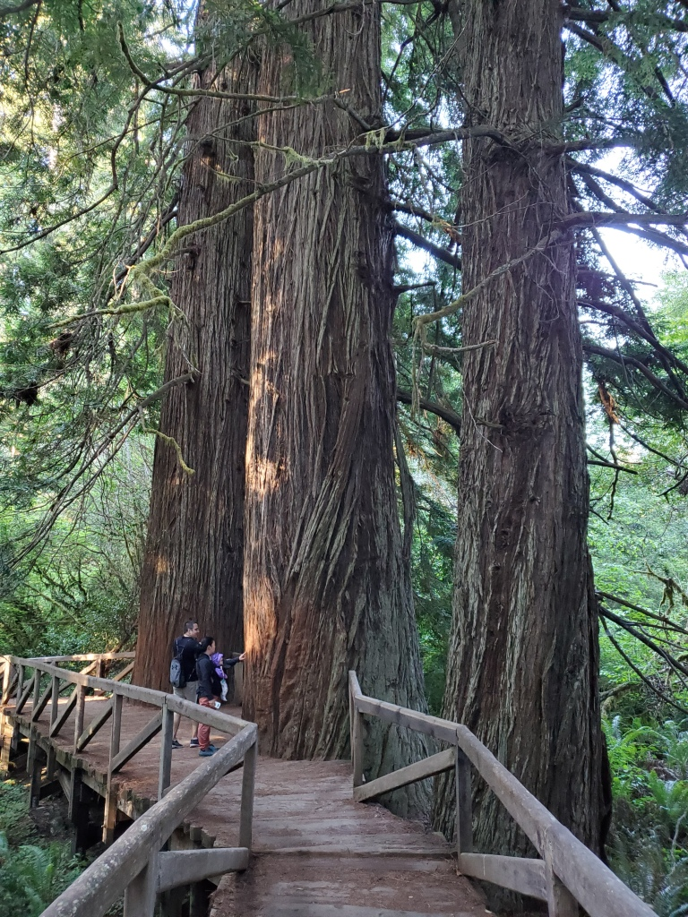 two people standing next to extremely large trees, on a wooden boardwalk in the forest