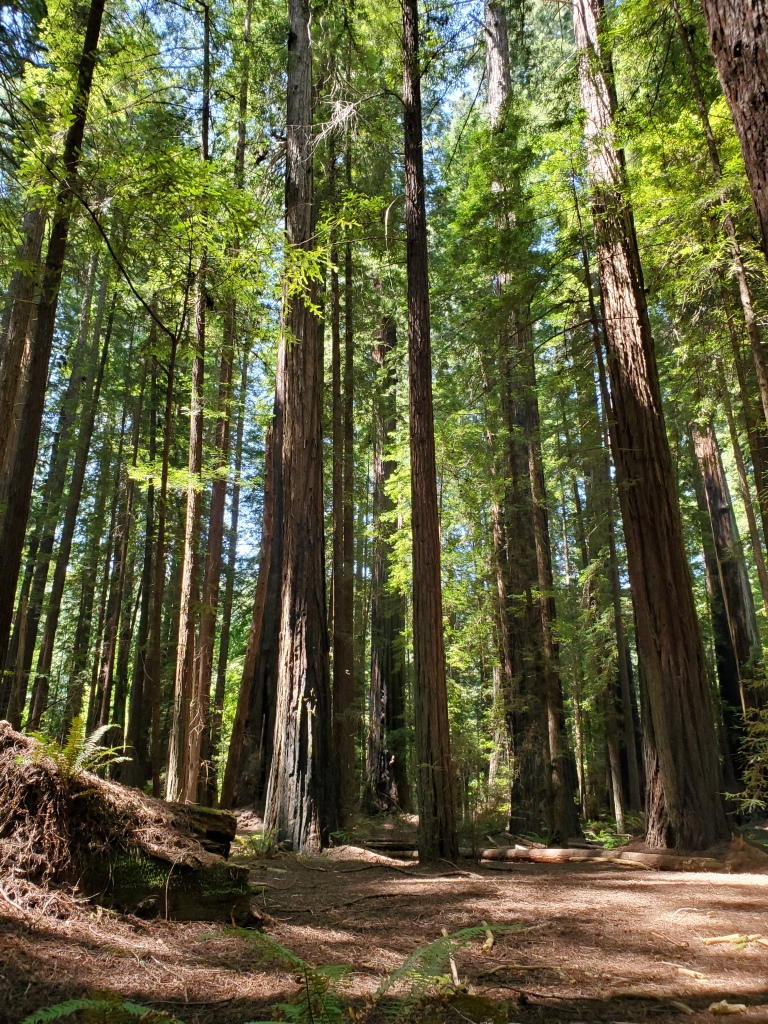 forest of tall redwoods