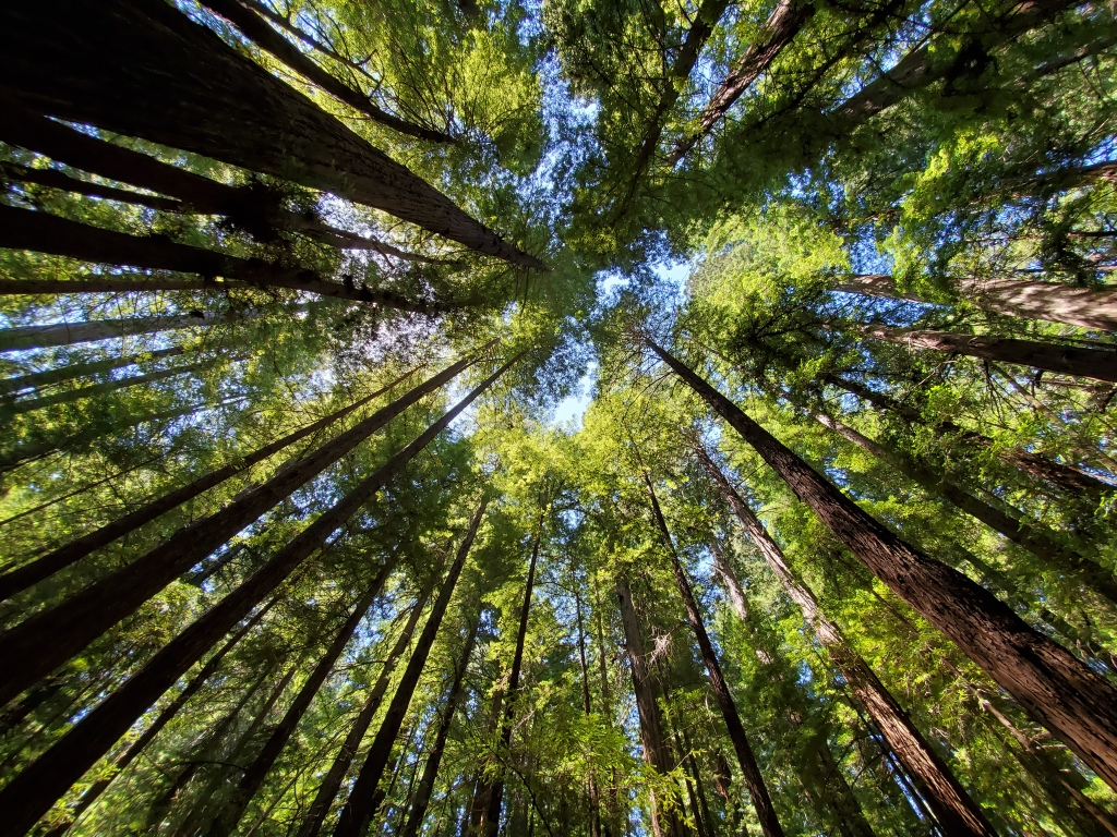 view upwards towards the sky in a forest of tall trees on all sides